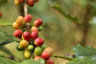 Piros kávécseresznyék