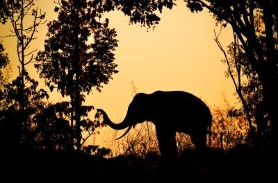 Elefánt kávé (Black Ivory)