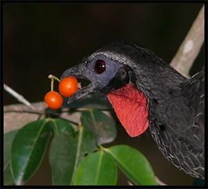 Jacu madár kávé