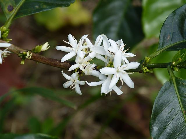 A kávé fehér virága