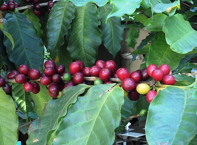 Érett kávécseresznyék