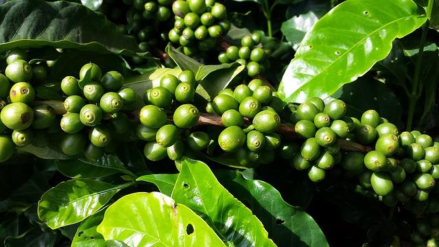Éretlen kávécseresznyék