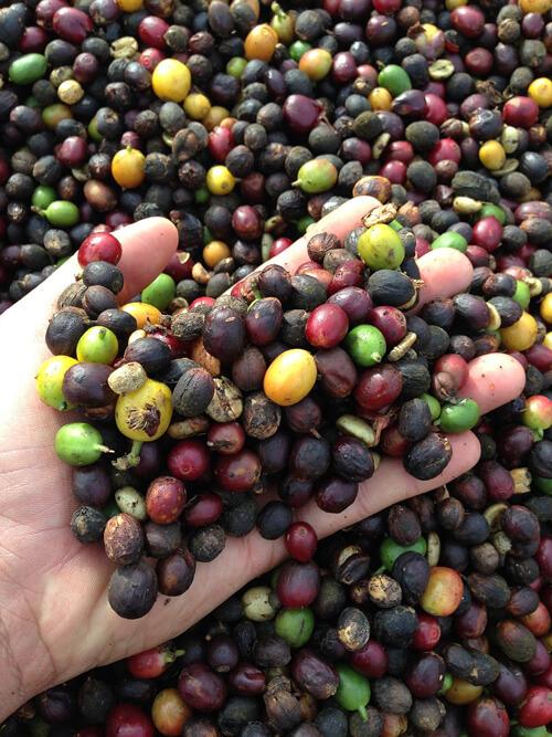 Kávébab, kávégyümölcs feldolgozása